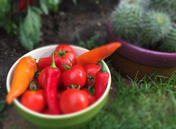 Fresh-picked garden tomatoes, Hungarian wax peppers and jalapenos.