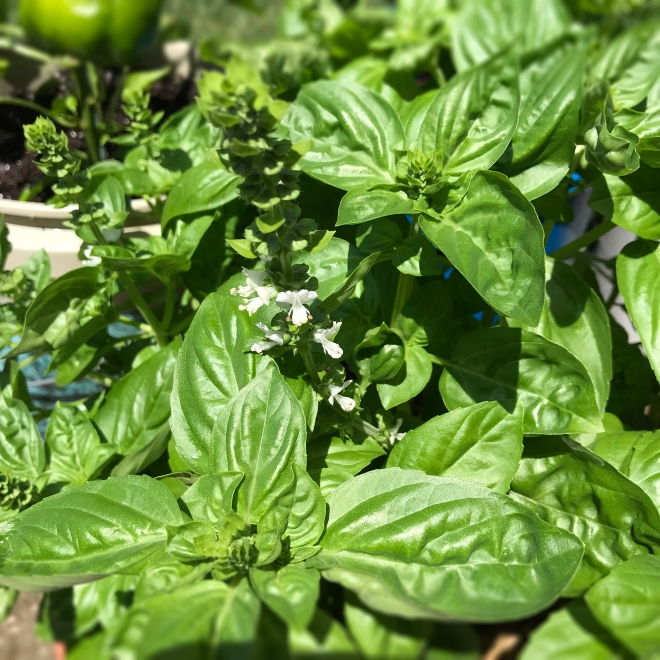 Italian Garden Basil | Culinary Compost Recipes